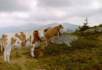 FotosRGES: Two-Cows-on-Hill-[AT-2001]---KIH